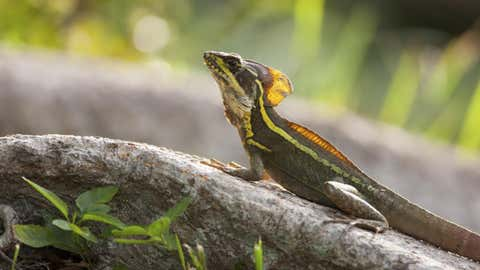 Central American brown basilisks (Basiliscus vittatus) are among the members of a lizard community that converged on a lower temperature tolerance after a cold snap in Miami.(Photo courtesy Day's Edge Productions)