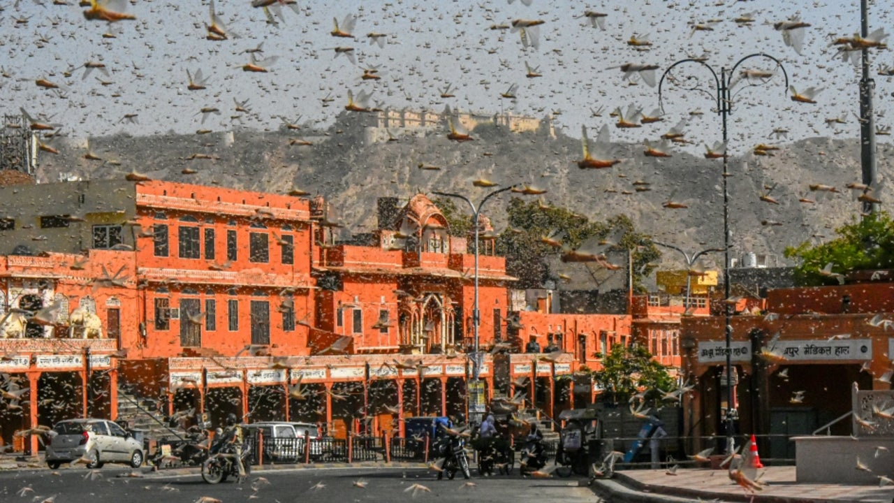 The locusts could reach Delhi in large numbers in the days to come, provided the wind speed and direction is favourable.