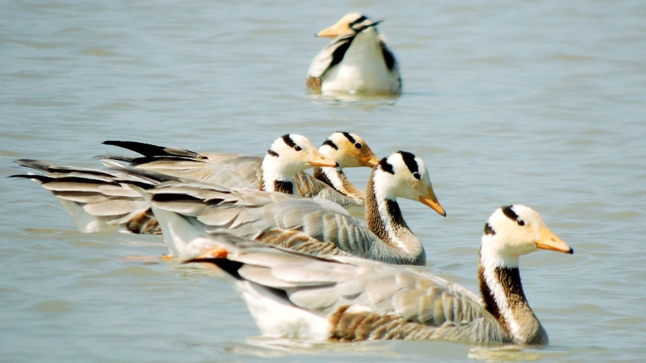 Under this theme, governments, scientists, conservation groups and wildlife experts will gather at the 13th meeting of the Conference of the Parties to the Convention on Migratory Species (CMS COP13) due to take place in Gandhinagar in Gujarat from February 15 to 22.