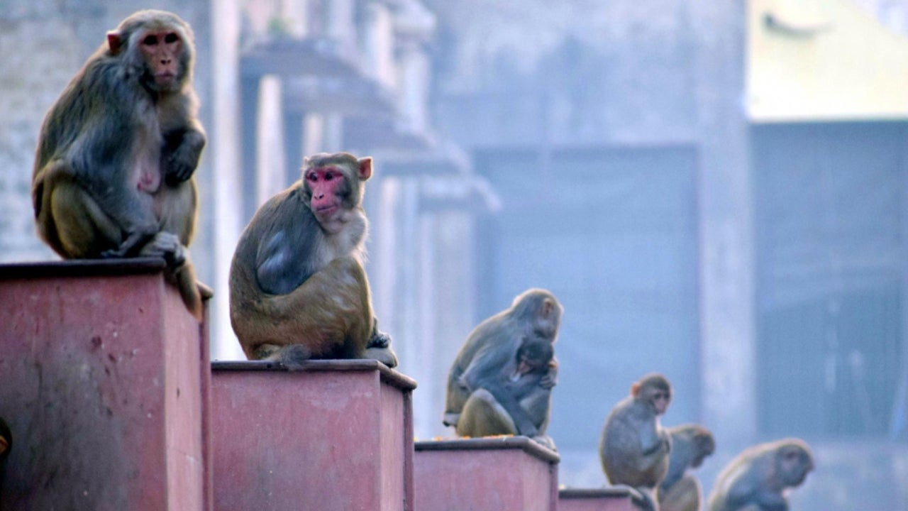 About 150 children had been attacked by monkeys in the Sikandarpur village, which has a population of about 5,200.