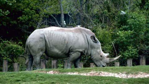 White Rhino (Gary M. Stolz/USFWS)