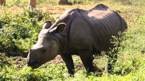 File photo: A baby rhino is seen at the premises of the National Trust for Nature Conservation at Chitwan National Park. (IANS)