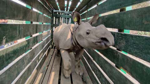 3 rhino calves rescued in floods at Kaziranga to move to Manas Tiger Reserve in Assam (IANS)