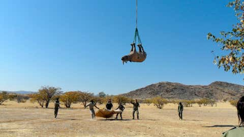 A recent study from researchers in the College of Veterinary Medicine analyzed the effects of hanging tranquilized black rhinoceroses upside down by their feet. (Cornell School of Veterinary Medicine)