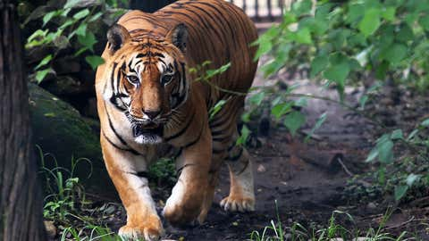 Royal Bengal Tiger (/Sunil Sharma/IANS)