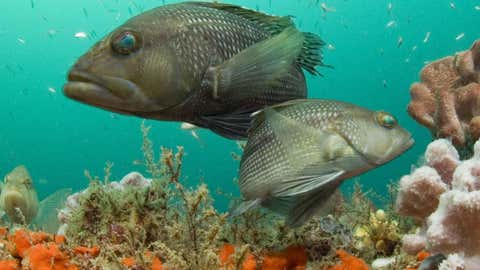 Sea bass look for food among the schools of smaller fish in this healthy coral reef. (NOAA)