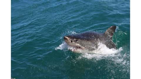 A Shark.(IANS)