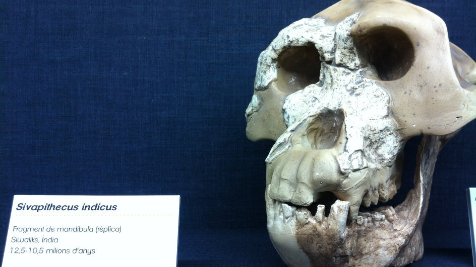 Orangutan Ancestor Sivapithecus Walked the Kutch Region 11 Million Years Ago