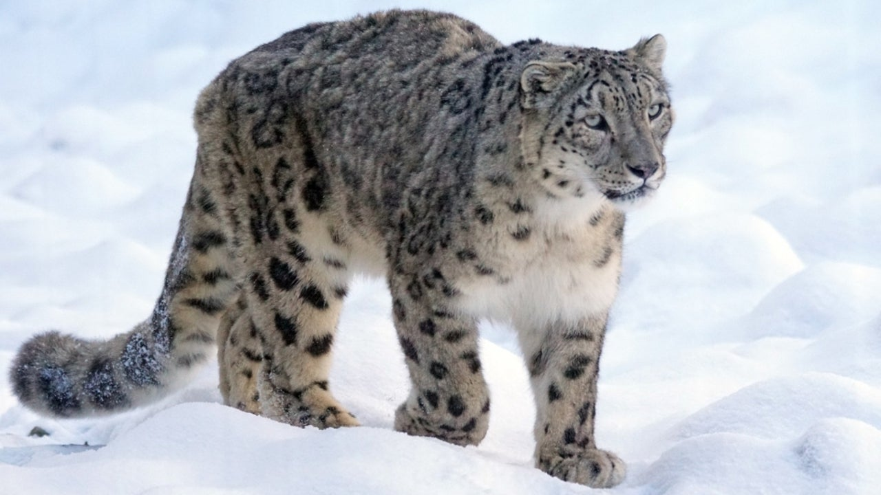 India will have a separate programme on snow leopards to include green pathways in the Himalayan region, where they are typically found, to help assist livelihood creation and create an ecosystem.