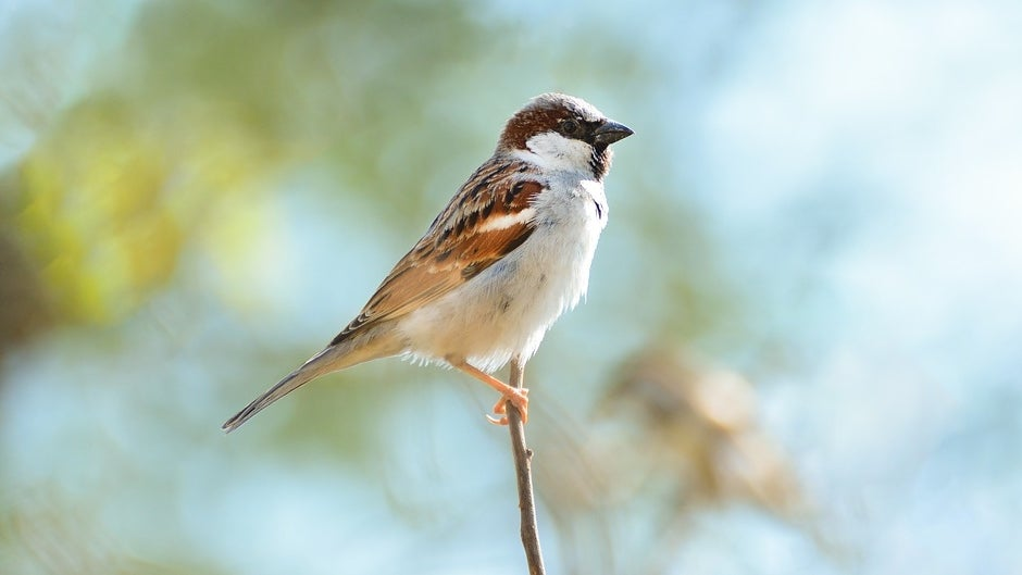 World Sparrow Day: Why We Need to Save These Ubiquitous Little Birds