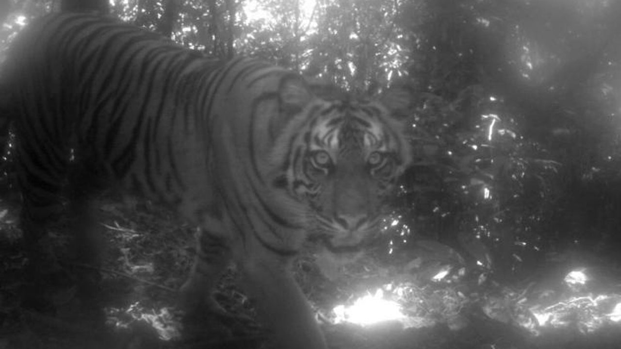 The Sumatran tiger is in extreme danger of extinction, with fewer than 400 of them left in the world today.