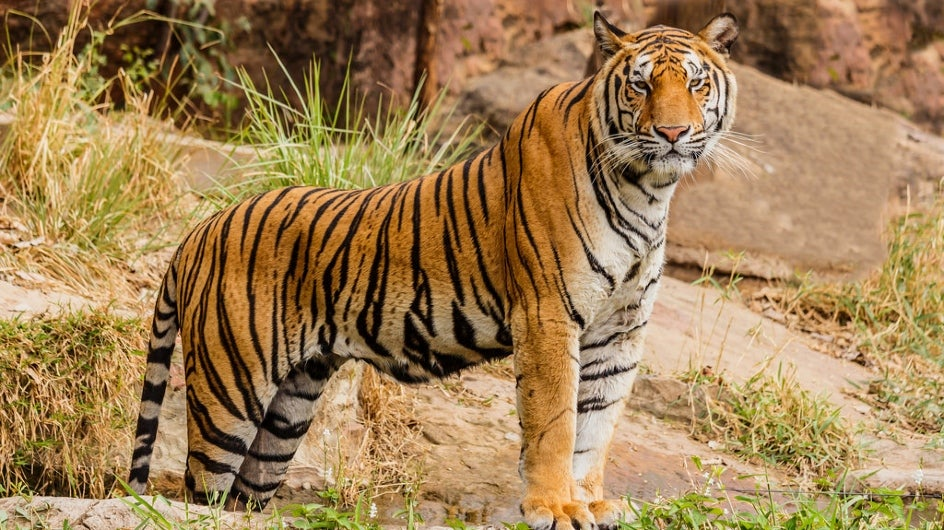 Illegal Poaching Killed 429 Tigers in 10 Years