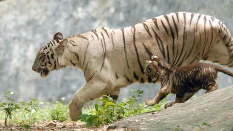 A white tiger and its cub. (B A Raju/TOI, BCCL, Chennai)