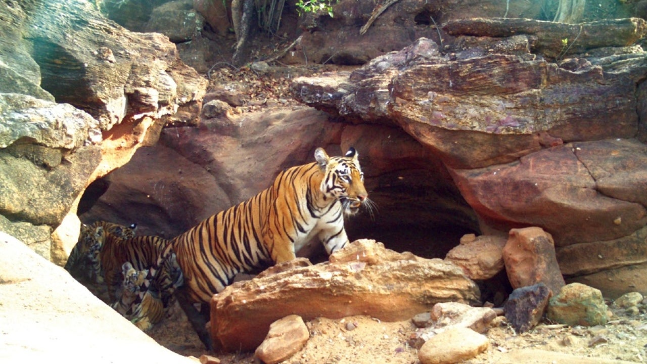 The country, which houses 56% of the global wild tiger population, saw 40% of all seizures.