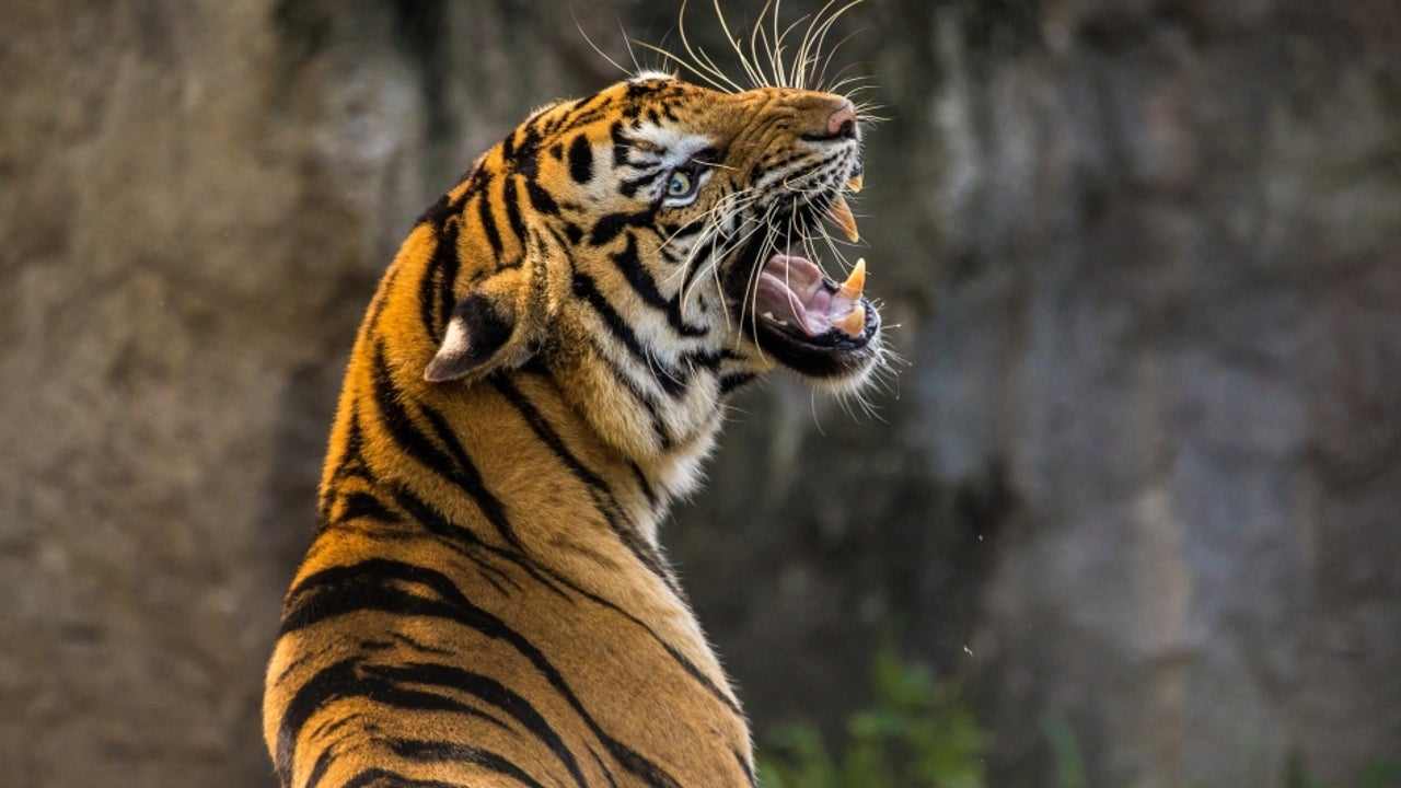 Different teams of officials were formed in the state of Rajasthan to hunt for the killer tiger in Jaipur, Kota, Sawai Madhopur and Karauli.