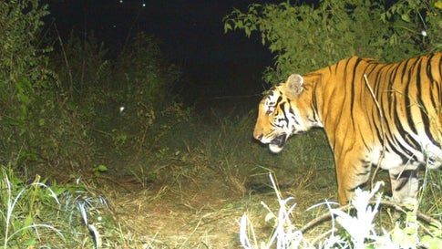 Man-Eating Tiger in Karnataka Forest Traced and Captured
