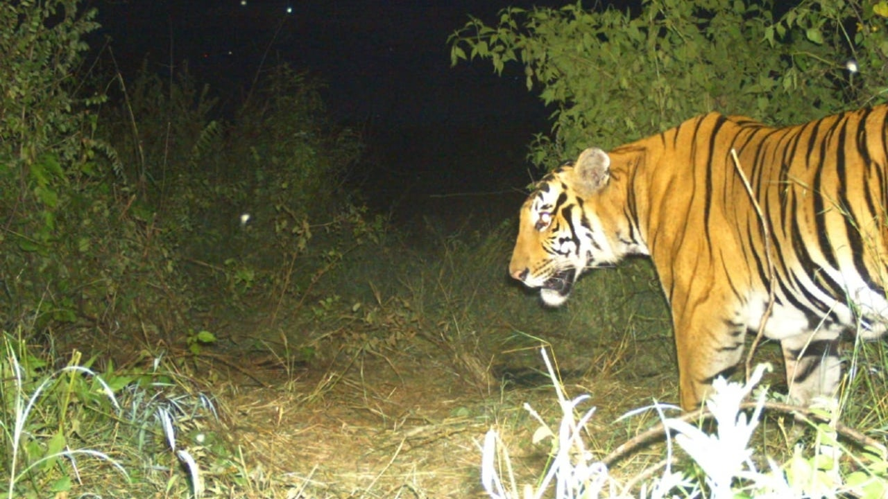 The tiger, aged 4 to 6 years, had killed two men since last month, and a search was on for the animal since October 9 in the 872km Bandipur forest area.