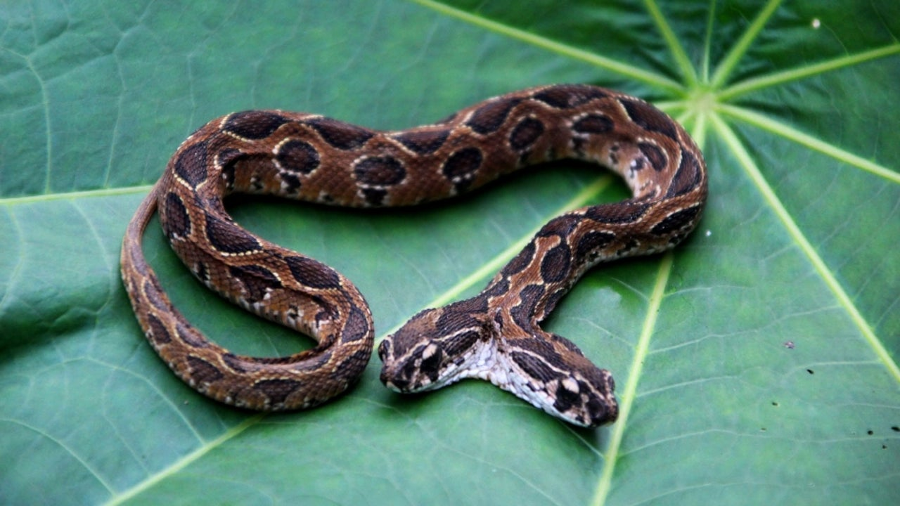 The snake was identified as a monocle two-headed Cobra.