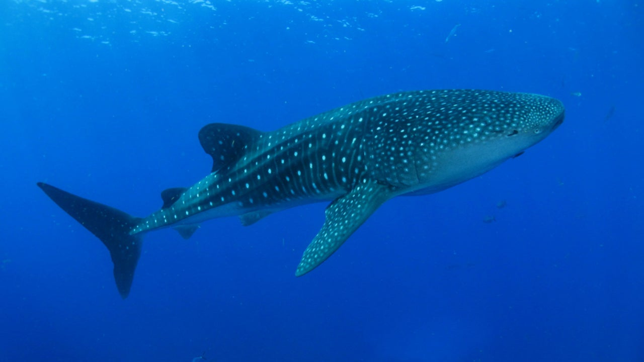 The rescue efforts are a result of an awareness campaign launched following the declining whale shark numbers. The campaign was boosted via interventions from religious leaders.