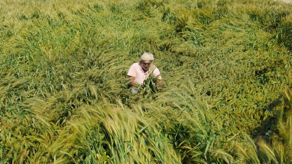 Wheat Crop Worth Crores Damaged in Punjab, Haryana