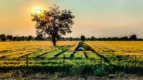 A Golden view of a wheat farm in Vidarbha region of Maharashtra (Aniruddha Singh Dinore / BCCL, Nagpur)