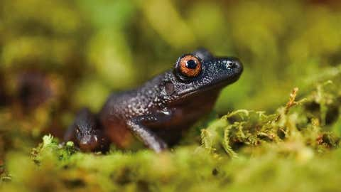 """The """"Devil-Eyed"""" frog (Oreobates Zongoensis), which was previously known only from a single individual observed more than 20 years ago in the Zongo Valley, was rediscovered on the Zongo rap expedition in Bolivia."""