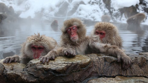 Japanese Macaque monkeys, also called snow monkeys, relax in the hot springs at the Jigokudani Monkey Park in Yamanouchi, Japan. They visit the springs to escape the cold. The park is open to visitors in winter between 9 a.m. and 4 p.m. (Koichi Kamoshida/Getty Images)