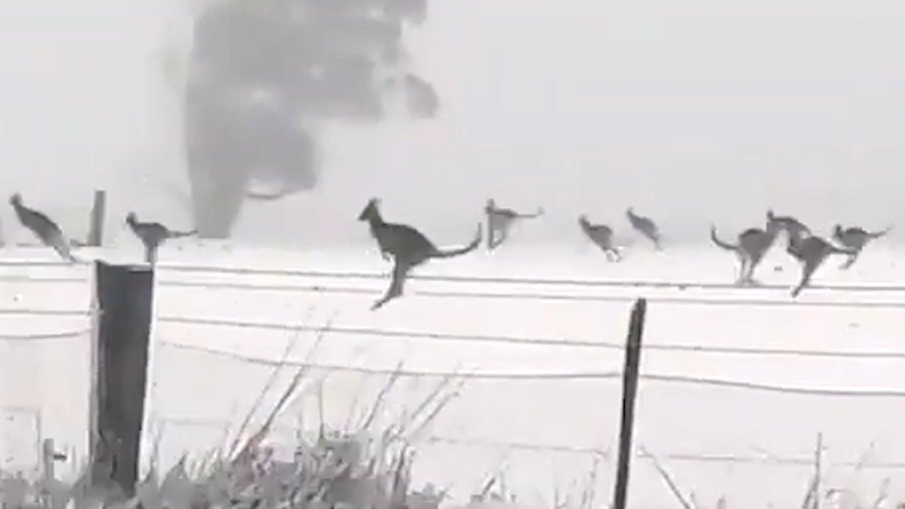 Huge Mob of Kangaroos Frolics in Snow in Australia