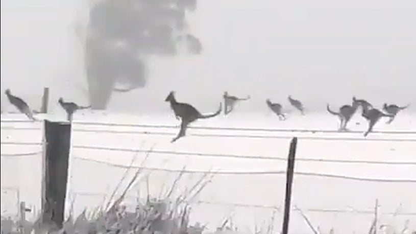 Huge Mob of Kangaroos Frolics in Snow in Australia