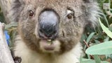 Simon the koala happily munched on eucalyptus leaves - Wild Video