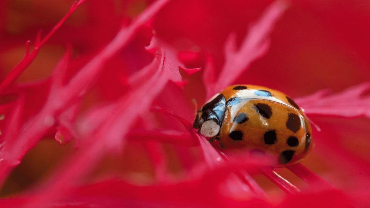 These Ladybug 'Imposters' Definitely Don't Bring Good Luck
