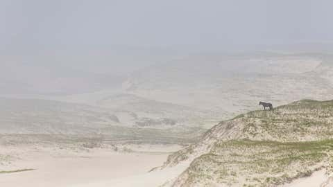 A horse looks on from a Sable Island dune. (Damian C. Lidgard)