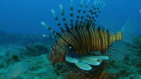 Fishermen Nab More than 23,000 Lionfish in Florida's Lionfish Challenge