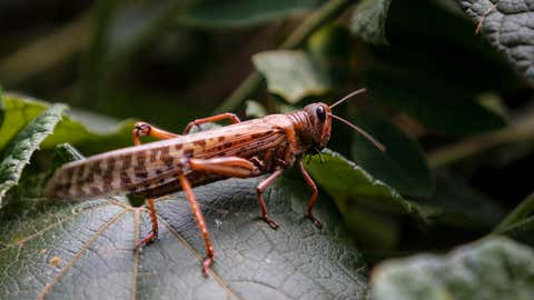 A locust lands on a plant leaf at a farm in Elburgon, in Nakuru county, Kenya on March 17, 2021. It's the beginning of the planting season in Kenya, but delayed rains have brought a small amount of optimism in the fight against the locusts, which pose an unprecedented risk to agriculture-based livelihoods and food security in the already fragile Horn of Africa region. (AP Photo/Brian Inganga)