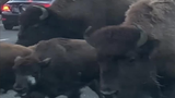Rental Car Barely Survives Yellowstone Bison Stampede