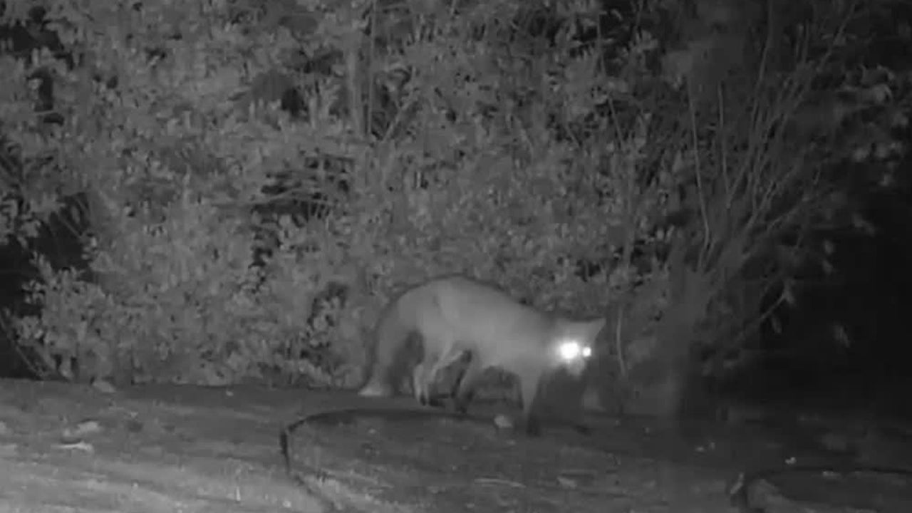 Fox Meets Badger in England, Chase Ensues
