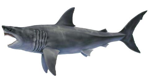 The megalodon shark, Otodus megalodon, lived about 23 to 3.6 million years ago. It is generally accepted as the largest predatory shark that ever lived. (Calvert Marine Museum/Tim Scheirer)