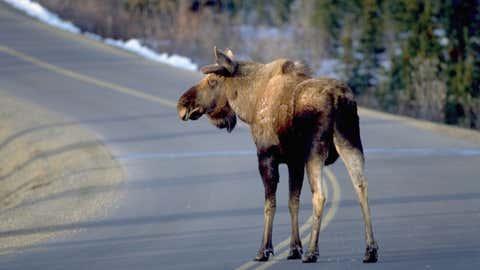 A moose crosses a park road in Denali National Park, Alaska.