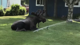 Moose Just Chillin' During Alaskan Heat Wave