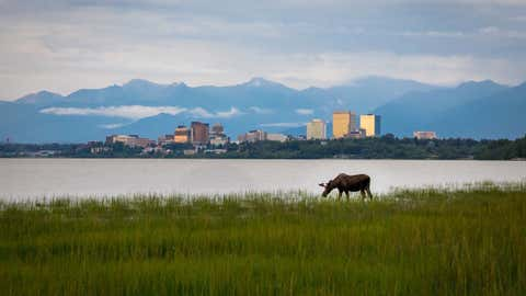 Moose grazing in Cook Inlet with Anchorage Alaska in the background