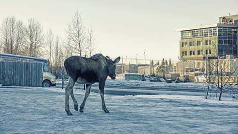 Moose can often be seen within the city limits, in Anchorage, Alaska.  A lone moose makes his way in search of Mountain Ash leaves.