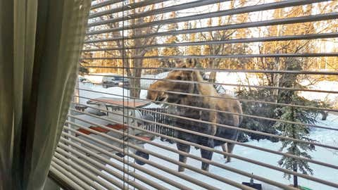 Picture of Moose in Alaska.  Picture of moose from the living room window.  On this cold day in Anchorage, Alaska, this moose offered a bright spot on this cold wintery day.