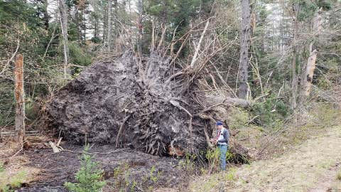 A massive rootball from a tree downed by a long-track tornado in southern New Hampshire on May 4, 2018. NWS-Gray, Maine, warning coordination meteorologist John Jensenius is pictured at right, conducting the storm survey on May 14. (NWS-Gray, Maine)