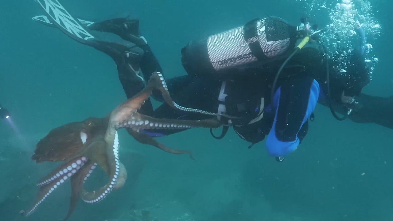 Huge Octopus Launches Itself Onto Diver Off Coast of Japan