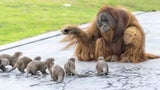Orangutans Form Special Bond With Otters at Belgium Zoo