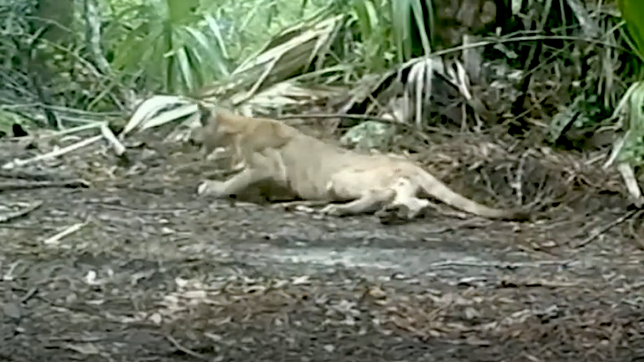 Wild Panthers in Florida Appear to Have Trouble Walking