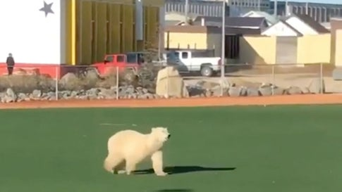 Polar Bear Runs Across Baseball Field in Canada