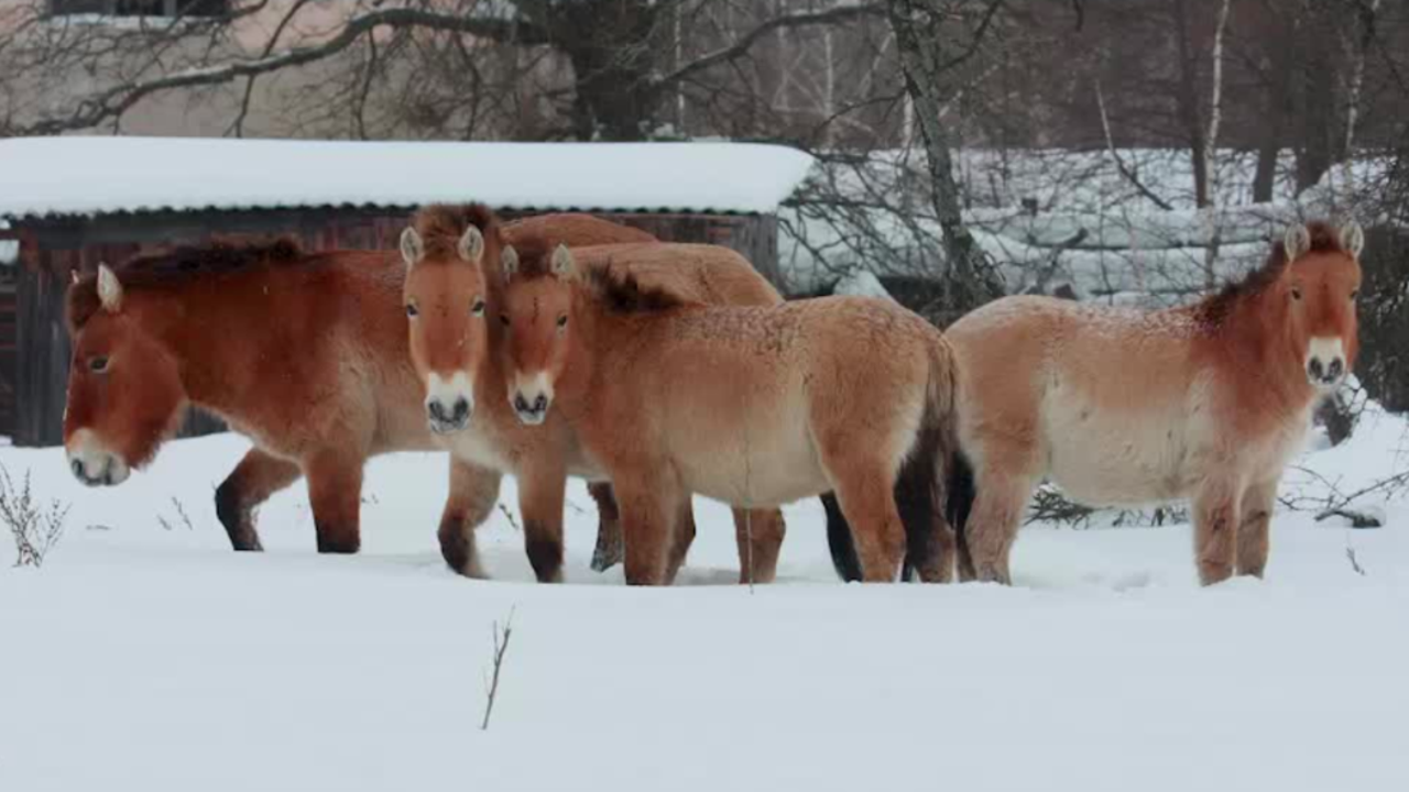 Endangered Wild Horses Take Refuge in Chernobyl's Exclusion Zone ...