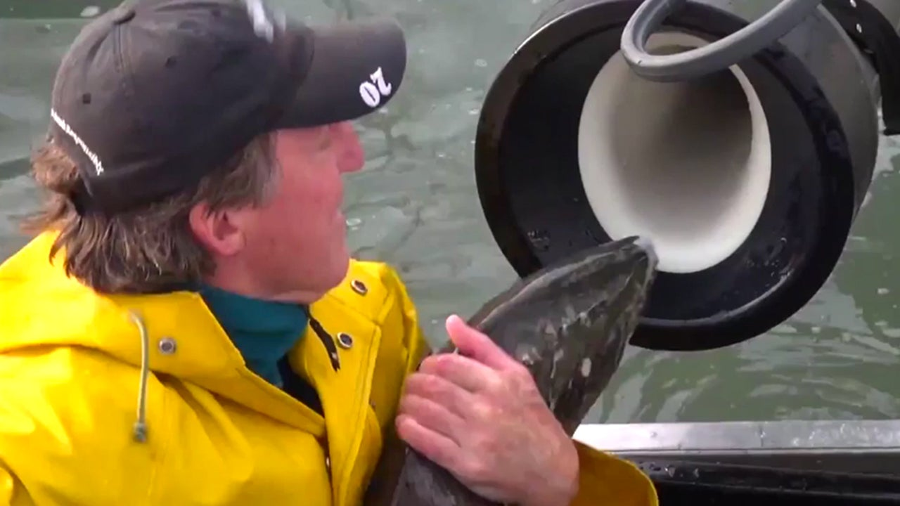 Salmon Cannon Transports Fish, Sorts Out Invasive Species