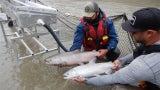 Massive Rescue Operation in Canada to Save Salmon